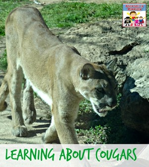 Learning about cougars